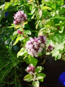 oregano- The Medicinal herb! Litsa!